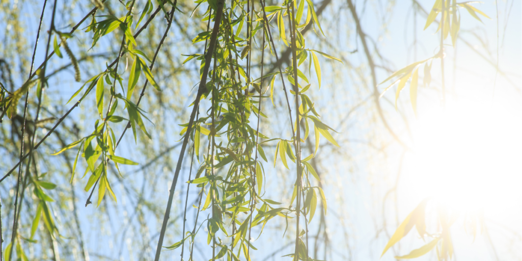 Willow Branches In The Sunlight